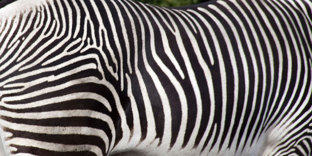 Zebra stripes may confuse blood sucking flies the science explorer