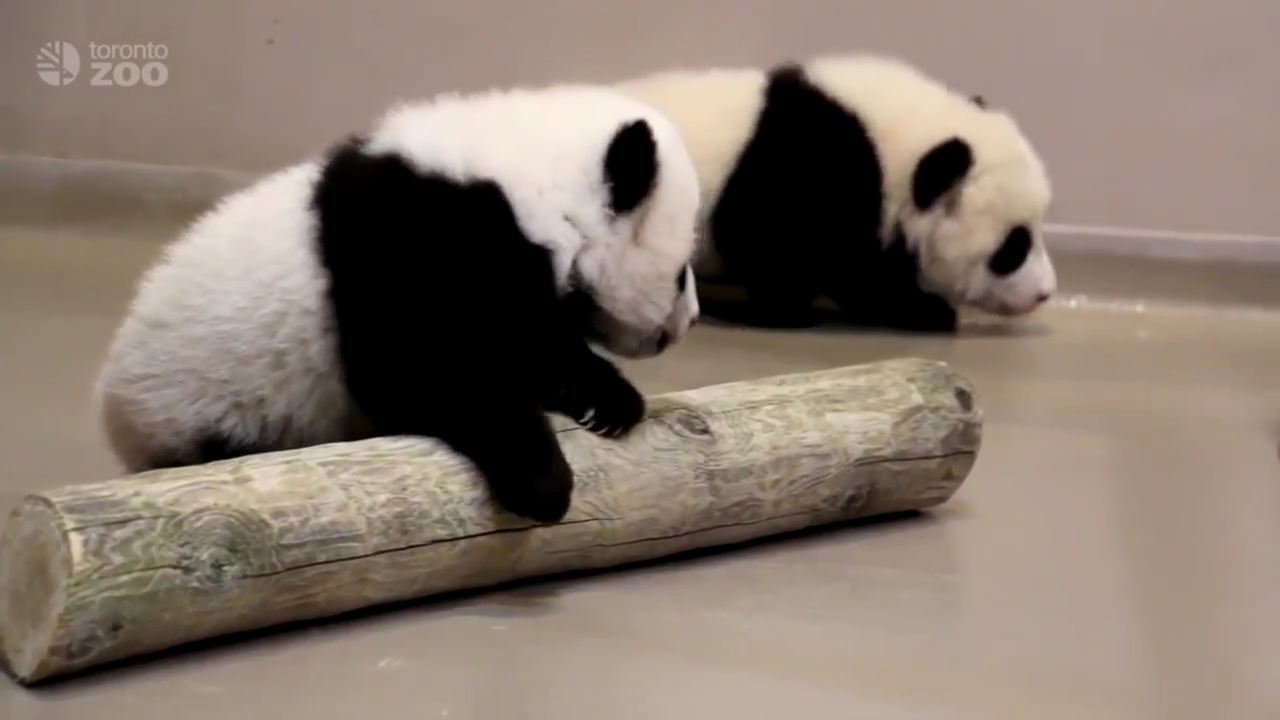 Watch Adorable Giant Panda Cubs Learn To Walk At Toronto