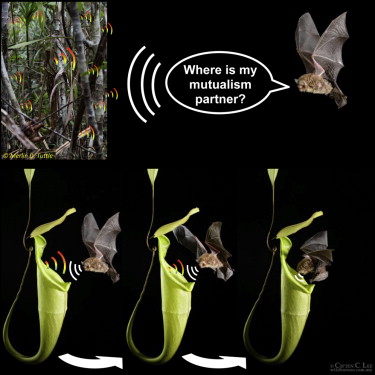 Carnivorous plant attracts bats using sonar | The Science Explorer