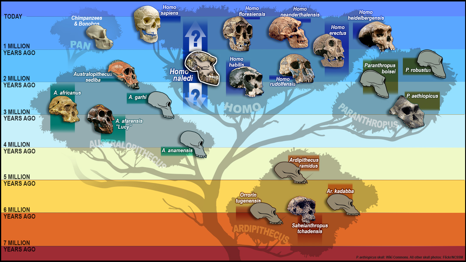 Hominid Evolution Timeline Meet Homo Naledi, The ...