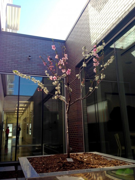 "A sapling ""Tree of 40 Fruit"" grows in the the courtyard"
