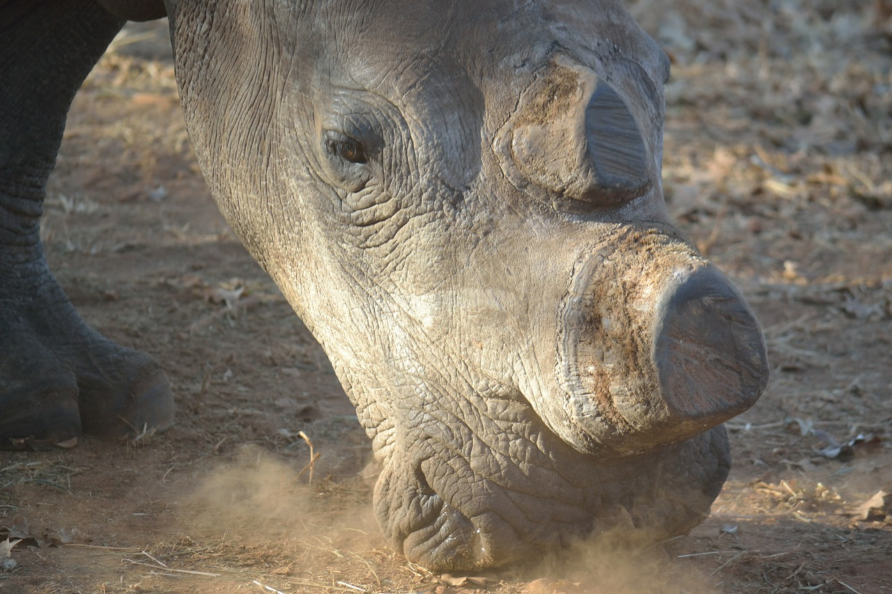 White rhino with trimmed horn