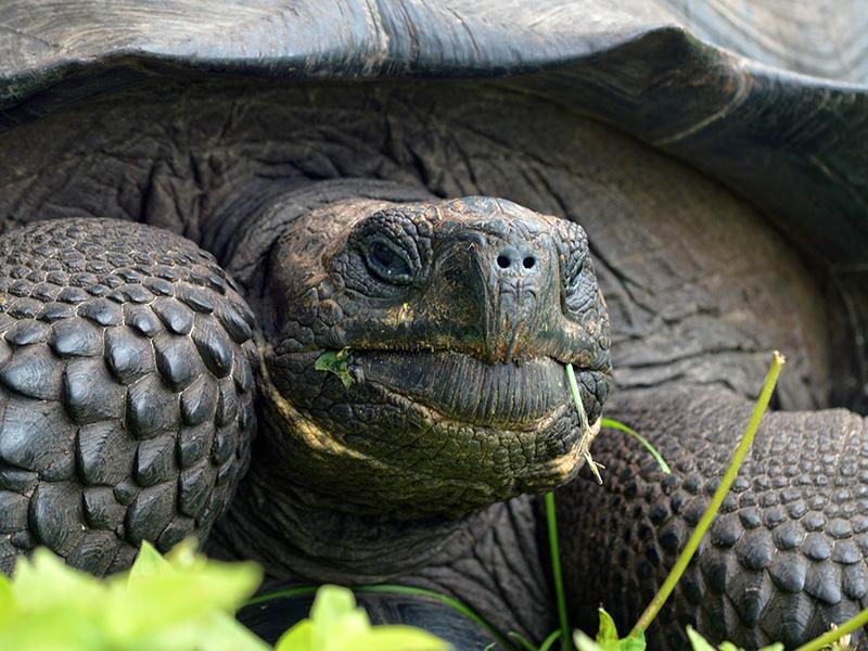 Galapagos giant tortoise Chelonoidis donfautsoi