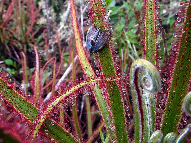 Giant Sundew Drosera magnifica