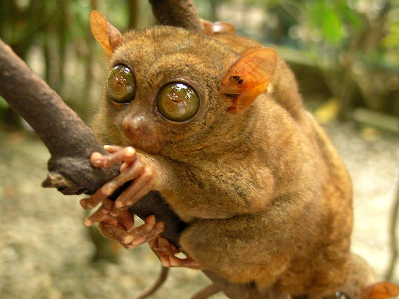 A tarsier clinging to a tree limb. Tarsiers are tiny primates with large eyes and upright ears.