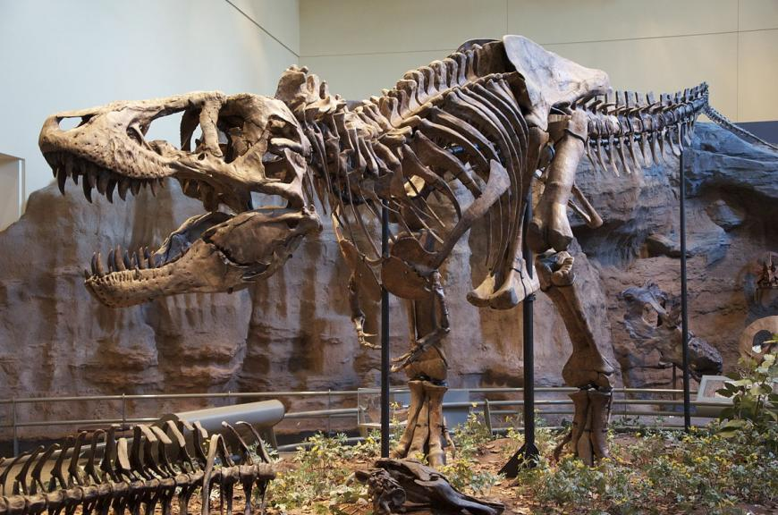 Skeleton of a Tyrannosaurus, one of the last dinosaurs to live on Earth before the extinction