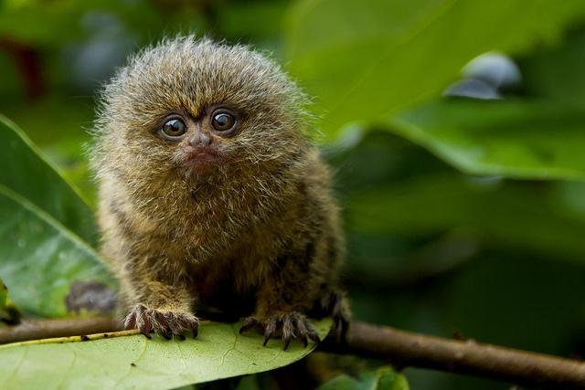 The pygmy marmoset looks like a cute little ball of fur with a tiny face.