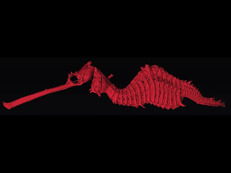 Red seadragon, Phyllopteryx dewysea