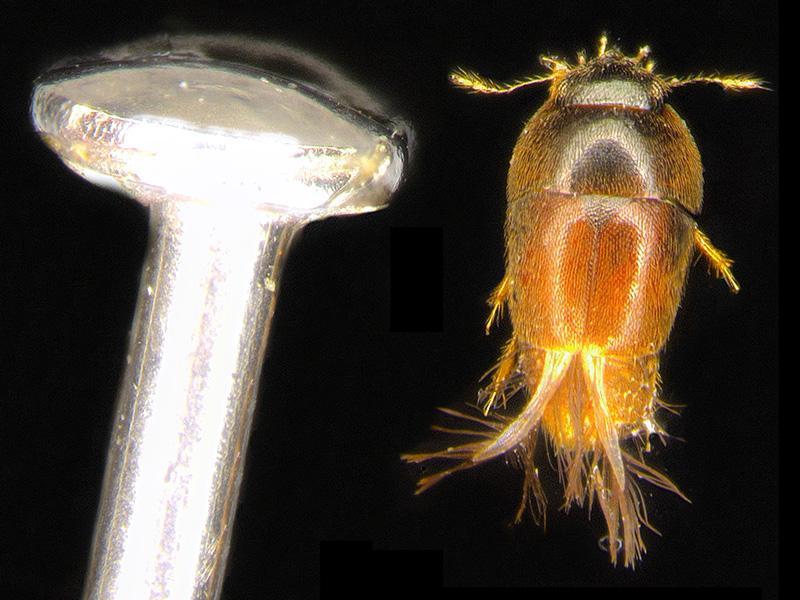 Phytotelmatrichis osopaddington, peru beetle