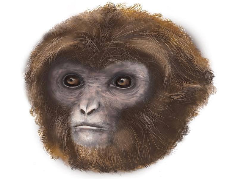 Primate ancestor, Pilobates cataloniae