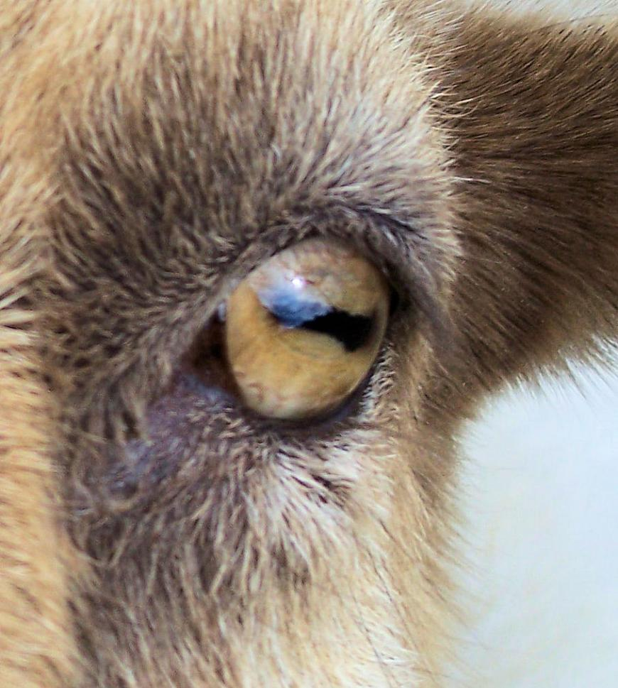 The slit-like eyes of goats give them a wider field of view.