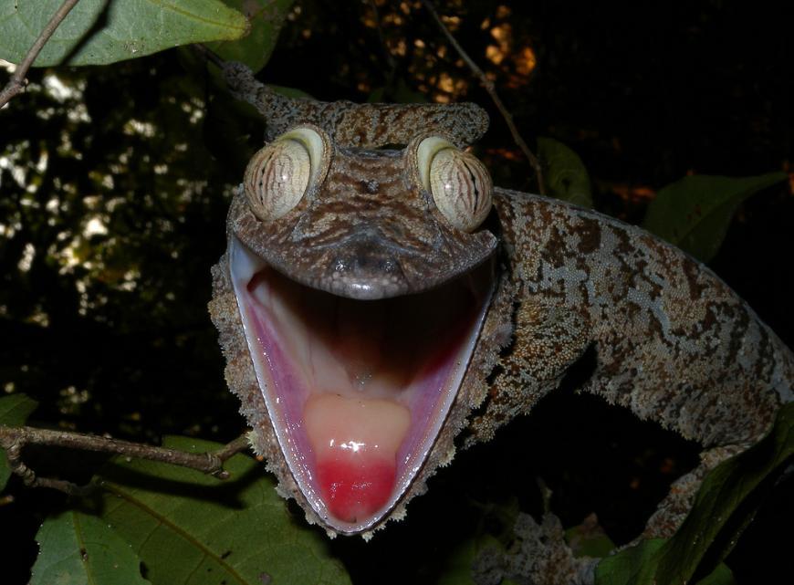 The leaf-tailed gecko has slit-like eyes without eyelids.