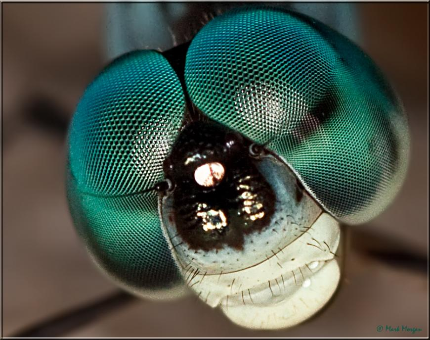 A dragonfly's compound eyes