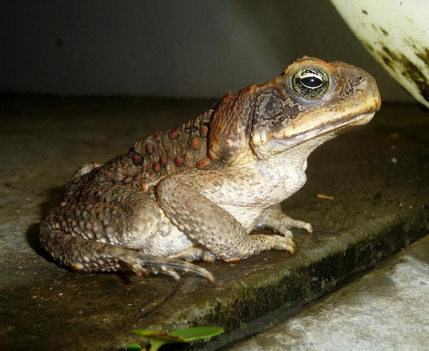 Cane Toad. Bufo marinus