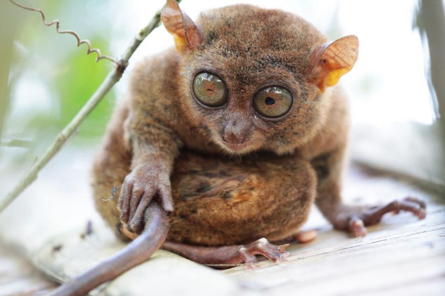 Tarsiers are tiny monkey with enormous eyes