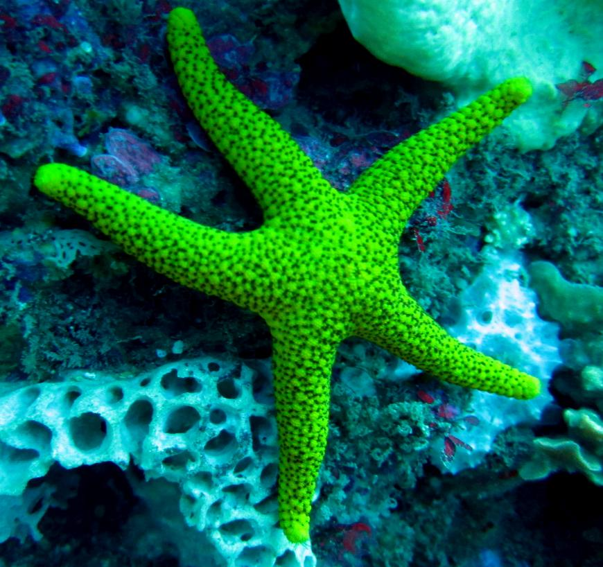 A lime green-colored starfish attached to coral