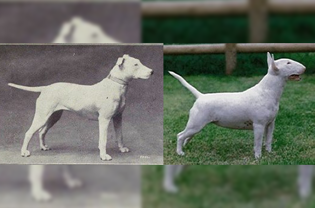 Bull Terrier in 1915 and today
