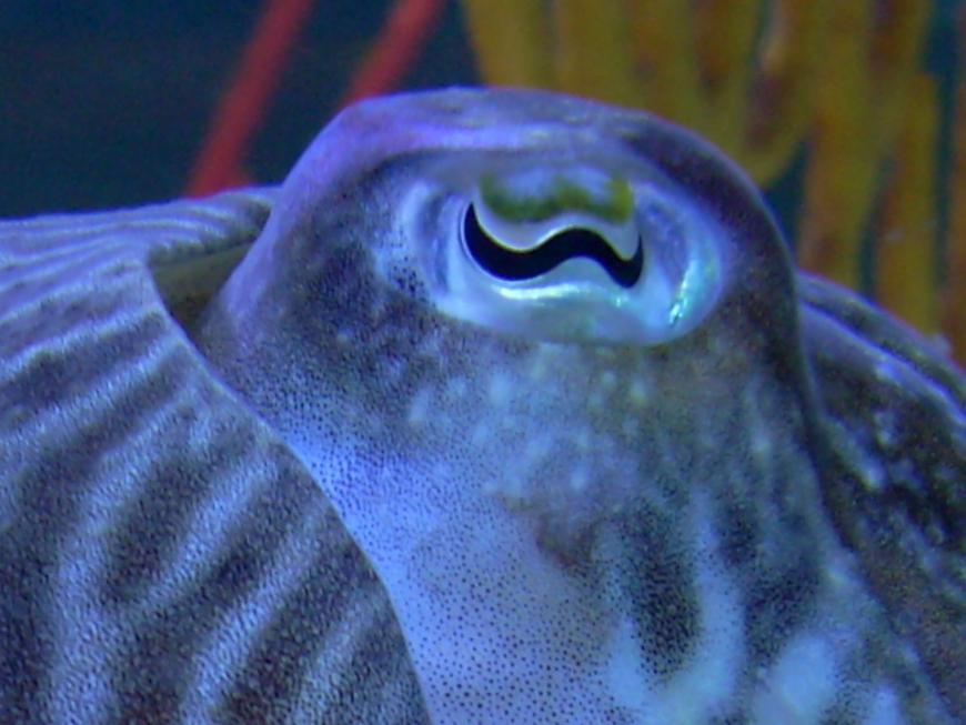 The w-shaped eyes of a cuttlefish