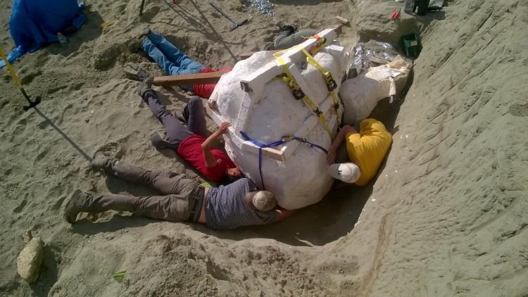 Paleontologists prepare to remove T-rex skull