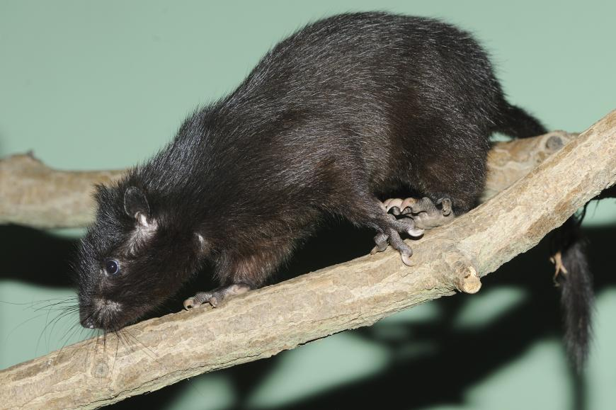 Phloeomys cumingi, a cloud rat endemic to the Philippine island of Luzon