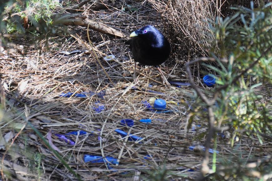 A male satin bowerbird (Ptilonorhynchus violaceus) builds its bower with blue things collected