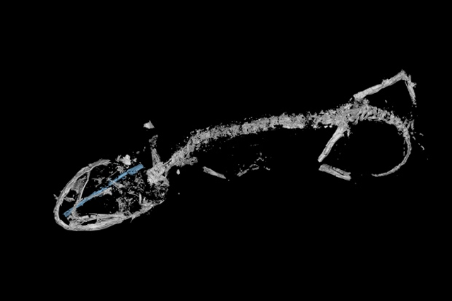 micro-CT scan of the oldest fossil Chameleon