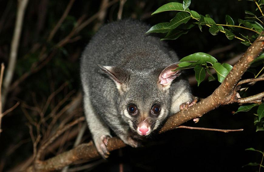 Brushtail possum in Brisbane