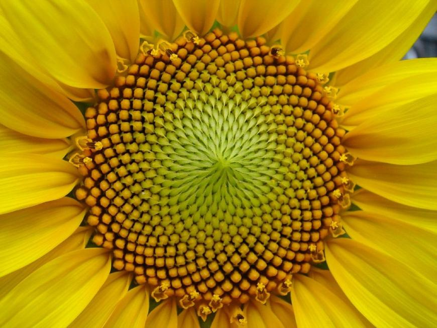 sunflower spirals complexity beyond the fibonacci sequence the