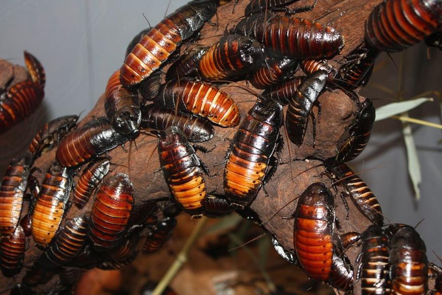 Hissing Cockroach Gromphadorhina portentosa at Cincinnati Zoo