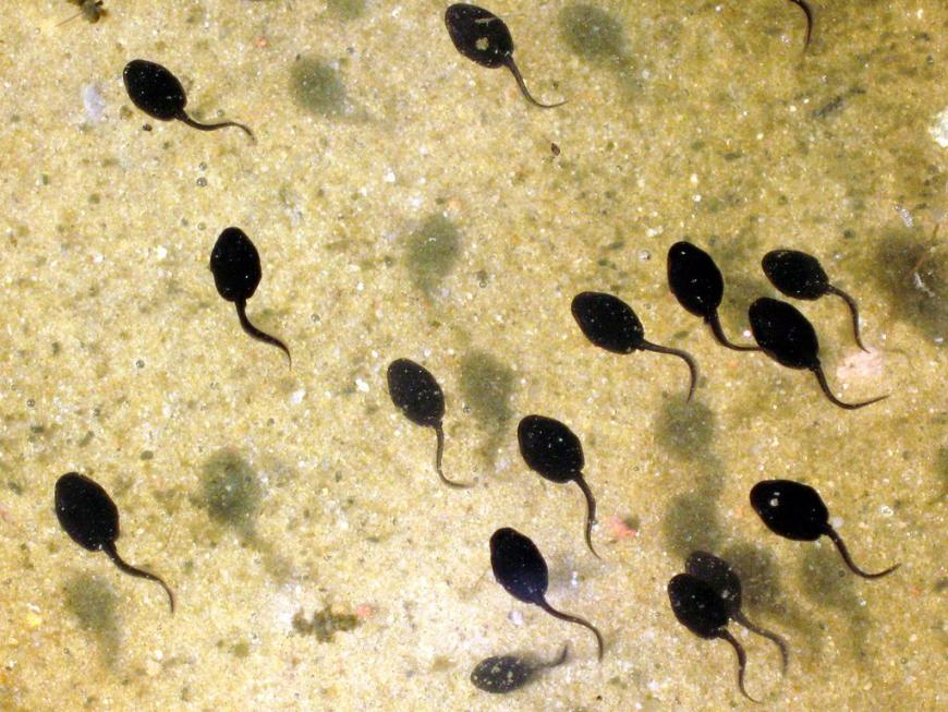 Tadpoles (pictured here) inspired the design of a new cancer-detecting endoscope
