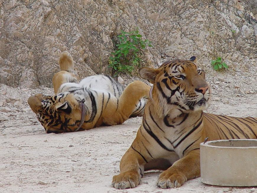 Tigers at the Tiger Temple in Thailand in 2004