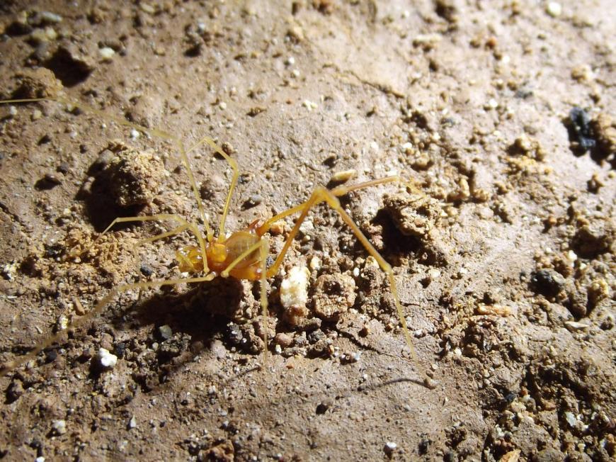 A male Iandumoema smeagol, a subterranean harvestman related to the Daddy Longlegs