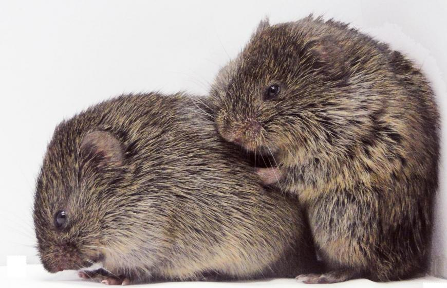 Two prairie voles consoling each other