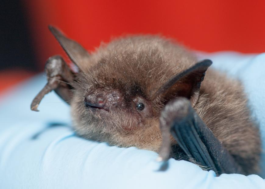 Bat held in a scientist's gloved hand