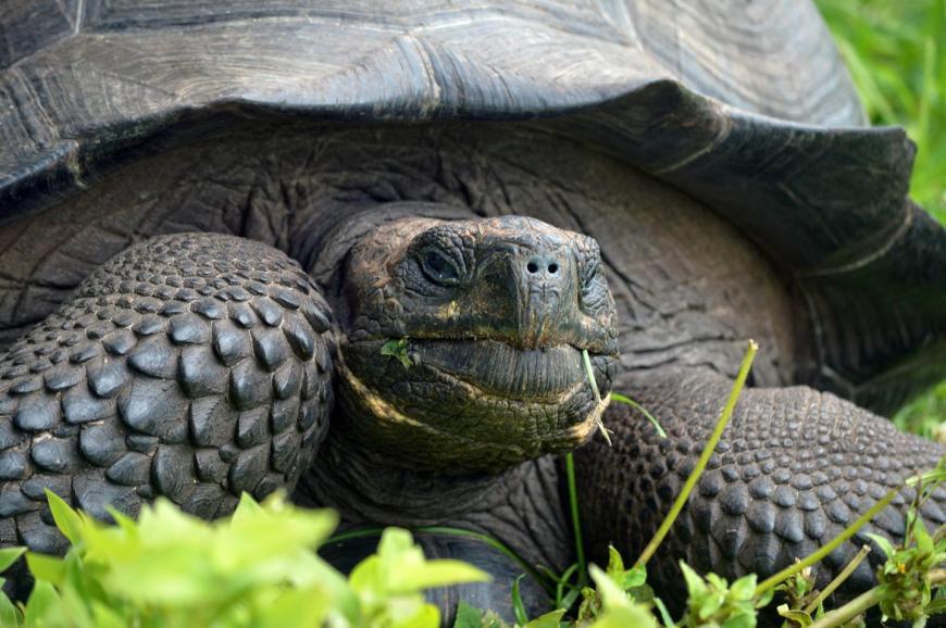 Don Fausto Giant Tortoise