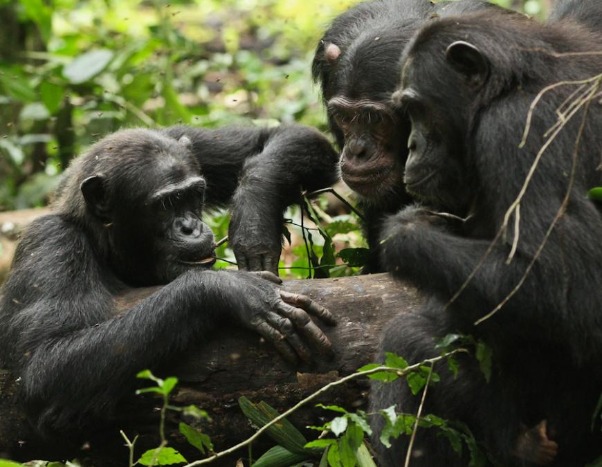 Three chimps engaging with the honey trap experiment in Kibale National Park