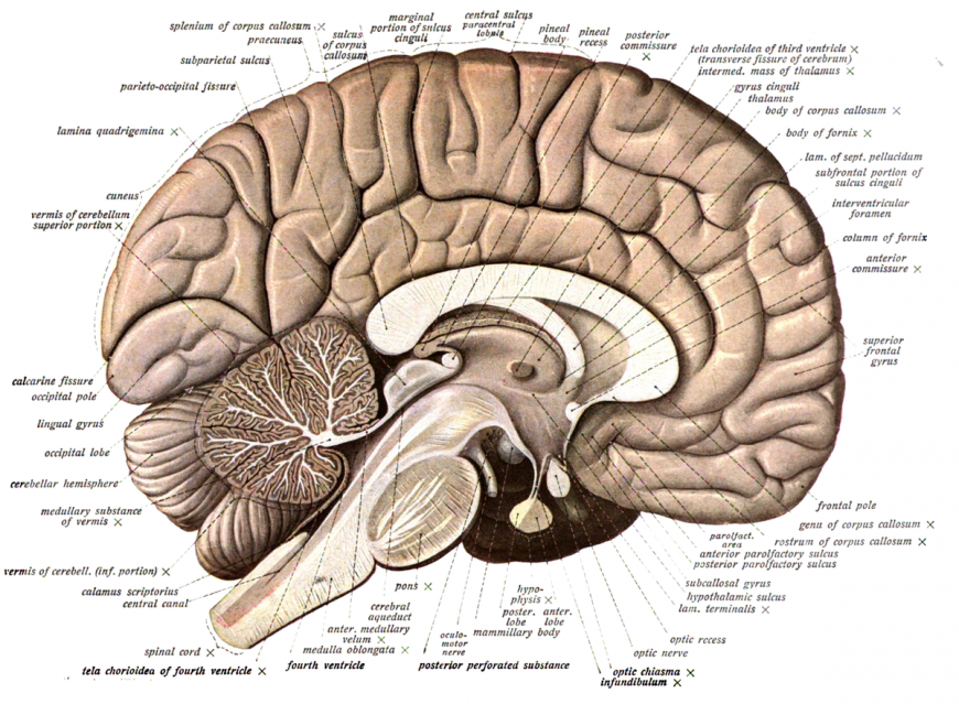 Anatomical diagram of a human brain.