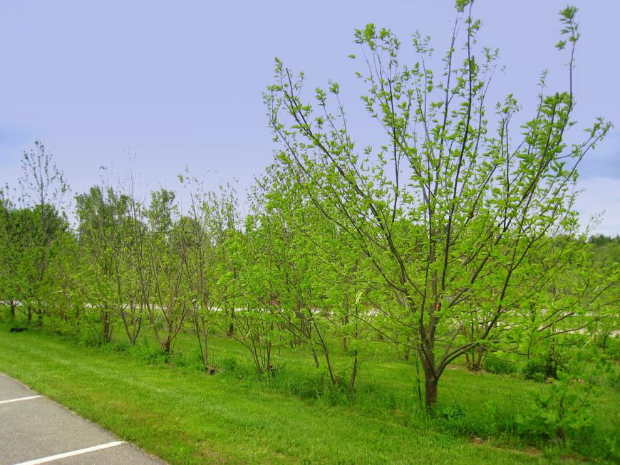 American chestnut trees