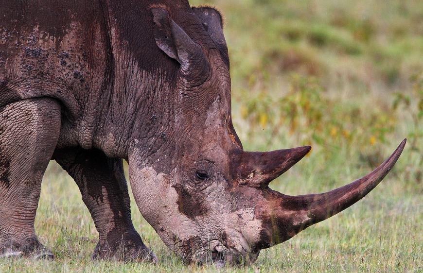 Grazing Grass (White) Rhino.