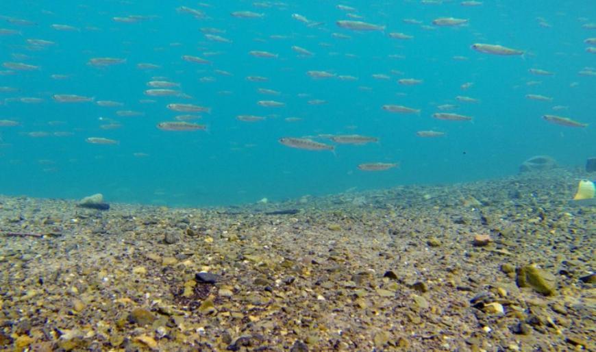 Juvenile salmon (smolts) swimming in Chilo lake