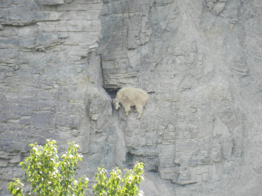 A sheep on a steep cliff