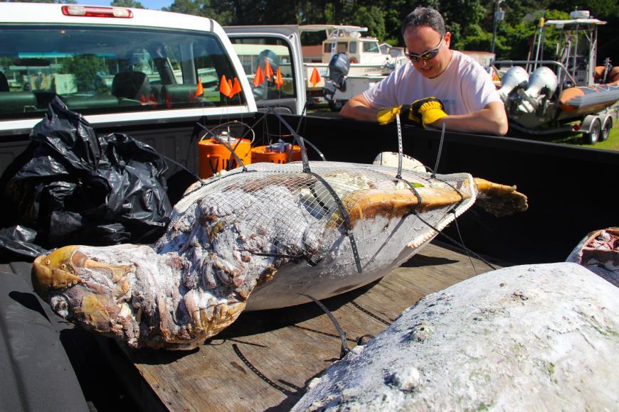 """Dead sea turtle filled with styrofoam """"Frankenturtle"""""""