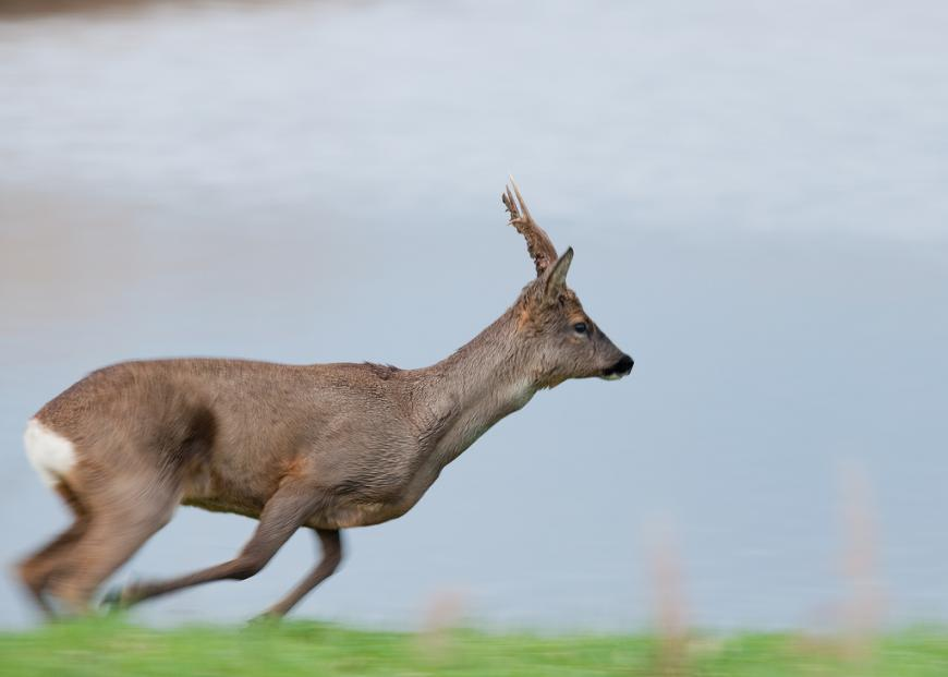 Blacktoft deer running