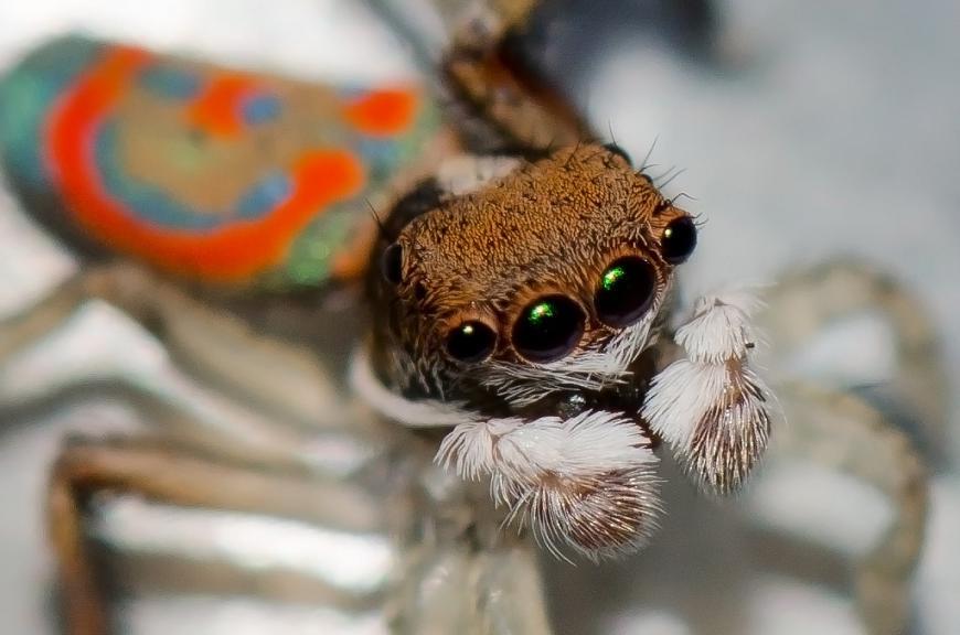 Peacock spider, Maratus pavonis