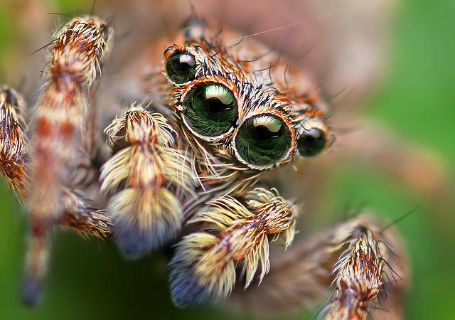 Jumping Spiders Smarter Than The Average Spider The Science Explorer
