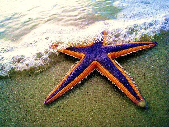 Royal starfish (Astropecten articulatus)