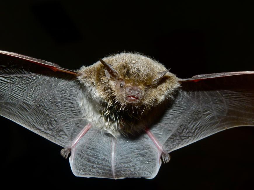 Cape Serotine Bat (Eptesicus capensis)