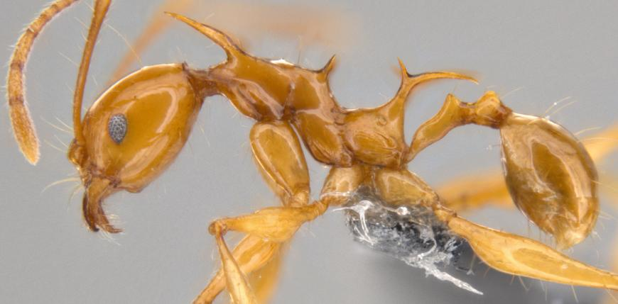 New ant species Pheidole viserion sp. major and minor workers.