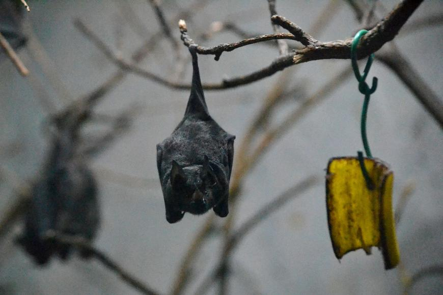 A bat roosting at the Ueno Zoo in Tokyo