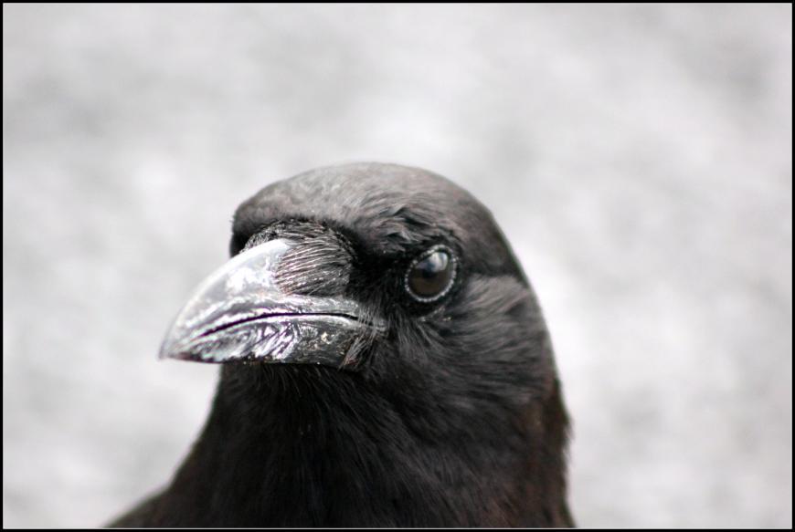 American crow. Corvus brachyrhynchos